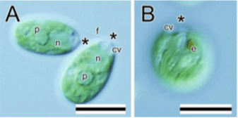Figure 1 A & B from Nakada and Tomita 2016. FIG. 1. Light microscopy of Hapalochloris nozakii Nakada gen. et sp. nov. (YgS1301A6 = NIES-3760). Cells in 7-d-old (A–D), 2-d-old (E), and 3-d-old (F) cultures. Asterisks indicate the anterior direction of the cells. A. Optical section of vegetative cells. B. Surface view of a vegetative cell, showing spirally furrowed chloroplast. C. Top view of a vegetative cell showing four contractile vacuoles. Arrows indicate emerging directions of flagella. D. Surface of a compressed pyrenoid showing many starch plates covering the pyrenoid. E. A cell during binary division with flagella on the anterior poles. F. A palmelloid cell with gelatinous matrix shown by indian ink preparation. cv, contractile vacuole; e, stigma; f, flagellum; n, nucleus; p, pyrenoid. Scale bars = 10 μm.