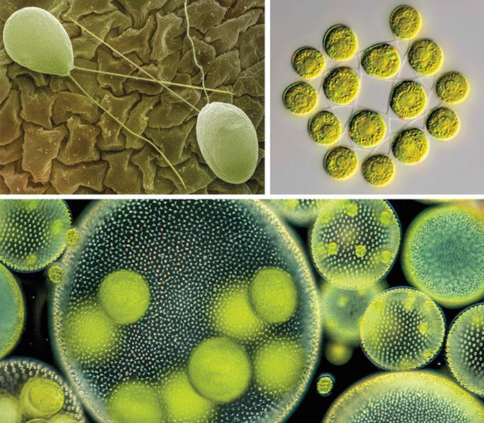 Pennisi algae photo