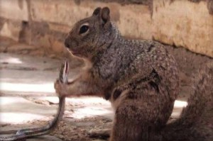 squirrel-eats-snake