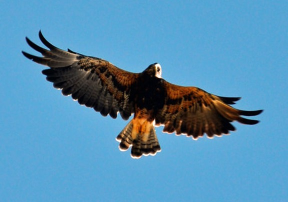 photo of a hawk soaring against a clear blue sky.