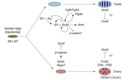 The molecular and genetic events in mammalian sex determination. The bipotential genital ridge is established by genes including Sf1 and Wt1, the early expression of which might also initiate that of Sox9 in both sexes. b-catenin can begin to accumulate as a response to Rspo1–Wnt4 signaling at this stage. In XX supporting cell precursors, b-catenin levels could accumulate sufficiently to repress SOX9 activity, either through direct protein interactions leading to mutual destruction, as seen during cartilage development, or by a direct effect on Sox9 transcription. However, in XY supporting cell precursors, increasing levels of SF1 activate Sry expression and then SRY, together with SF1, boosts Sox9 expression. Once SOX9 levels reach a critical threshold, several positive regulatory loops are initiated, including autoregulation of its own expression and formation of feed-forward loops via FGF9 or PGD2 signaling. If SRY activity is weak, low or late, it fails to boost Sox9 expression before b-catenin levels accumulate sufficiently to shut it down. At later stages, FOXL2 increases, which might help, perhaps in concert with ERs, to maintain granulosa (follicle) cell differentiation by repressing Sox9 expression. In the testis, SOX9 promotes the testis pathway, including Amh activation, and it also probably represses ovarian genes, including Wnt4 and Foxl2. However, any mechanism that increases Sox9 expression sufficiently will trigger Sertoli cell development, even in the absence of SRY.