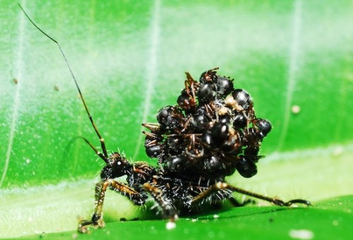 Acanthaspis petax, a type of assassin bug, stacks dead ant bodies on its back to confuse predators. Photo by Mohd Rizal Ismail