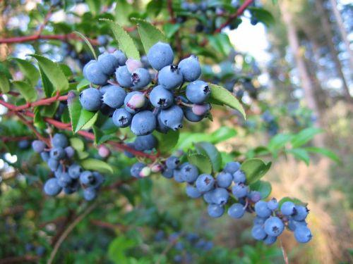 Blue_Huckleberries