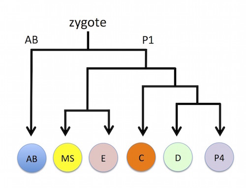 The initial cell cleavages following fertilization in C. elegans. AB and P1 are the primary daughter founder cells, giving rise to the AB, MS, and C lineages (containing mixtures of ectodermal and mesodermal cells), D (muscles), E (intestine), and P4 (germ cells). Abbreviated CEICP in text.