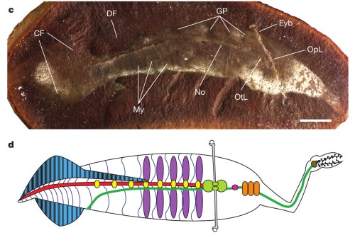 Tullimonstrum, FMNH PE 40113, oblique lateral view (also Extended Data Fig. 2a): eyebar, Eyb; myomeres, My; gill pouches, GP; caudal fin, CF; notochord, No; otic lobe, OtL and optic lobe, OpL of brain; and dorsal fin, DF. d, Line drawing: black, teeth; brown, lingual organ; light grey, eyebar; dark green, gut and oesophagus; red, notochord; light green, brain; orange, tectal cartilages; pink, naris; purple, gill pouches; yellow, arcualia; dark blue, myosepta; blue with black stripes, fins with fin rays. Scale bar, 10mm.