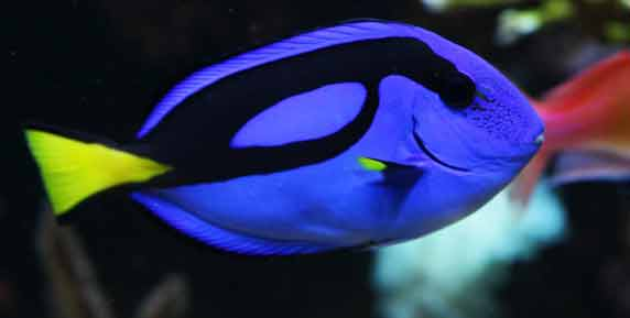 Mary s monday metazoan look for dory for Royal blue tang fish