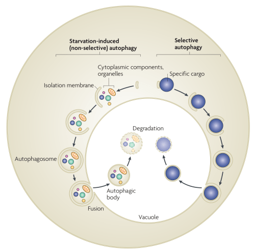 Autophagy in yeast. In starvation-induced (non-selective) autophagy,  the isolation membrane mainly non-selectively engulfs cytosolic constituents and organelles to form the autophagosome. The inner membrane-bound structure of the autophagosome (the autophagic body) is released into the vacuolar lumen following fusion of the outer membrane with the vacuolar membrane, and is disintegrated to allow degradation of the contents by resident hydrolyases. In selective autophagy, specific cargoes (protein complexes or organelles) are enwrapped by membrane vesicles that are similar to autophagosomes, and are delivered to the vacuole for degradation. Although the Cvt (cytoplasm-to-vacuole targeting) pathway mediates the biosynthetic transport of vacuolar enzymes, its membrane dynamics and mechanism are almost the same as those of selective autophagy.