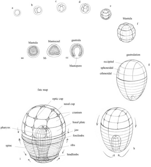 Blastulation, gastrulation, and embryonic fate map. a. Egg; b–f. Cleavage; g-h. Gastrulation; i. Schematic 'fate map' showing orientation of prospective embryonic structures that emerge following gastrulation. aa–cc. Schematic organization of cell layers during early stages of development. aa. Blastula; bb. Blastocoel; cc. Gastrula.