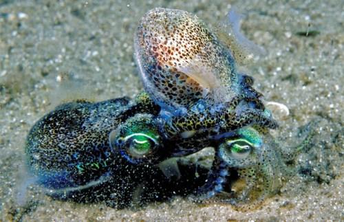 Euprymna-mating-squid-sex