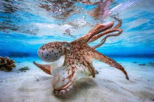 octopushunter