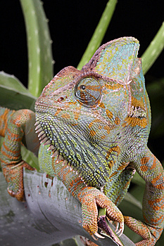Stock Photo - Chameleon Animal