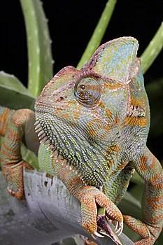 Stock Photo - Chameleon Animal