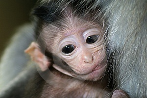 Stock Images - Monkey baby on mother
