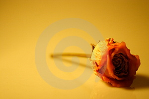 Stock Images - Wax rose - forever young