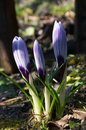 Stock Image - Three crocuses