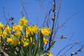 Free Stock Images - Daffodils