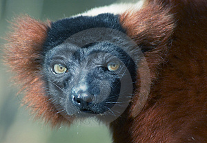 Free Stock Image - Red ruffed lemur