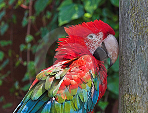 Free Stock Image: Scarlet Macaw Picture. Image: 232266