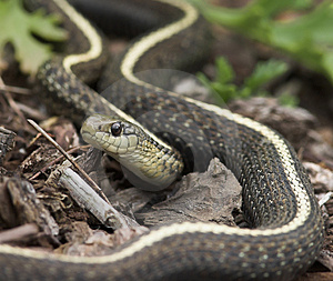 Free Stock Image: Garden Snake Picture. Image: 234266