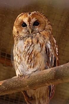 Free Stock Image - Owl 233