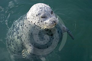 Stock Photo - seal in the sea
