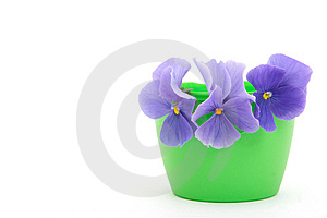 Stock Photography - Pansy
