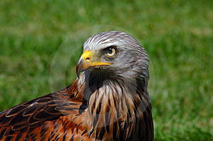 Stock Photo - Eagle