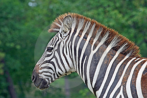 Free Stock Photography - Zebra in a safari