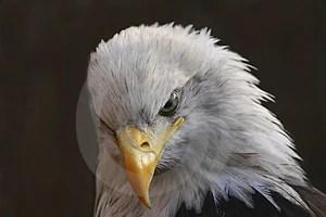 Stock Image - White-Tailed Eagle