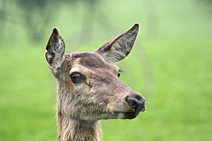 Free Stock Photography - Portrait of deer