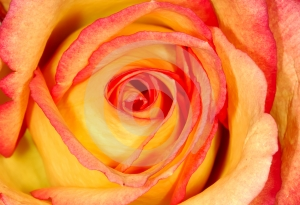 Stock Images - Orange Rose