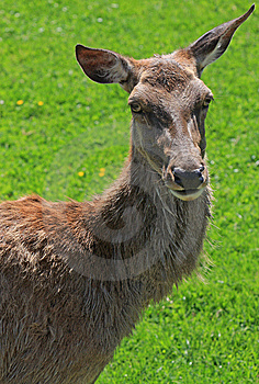 Free Stock Photography - Deer Animal Head Close-up