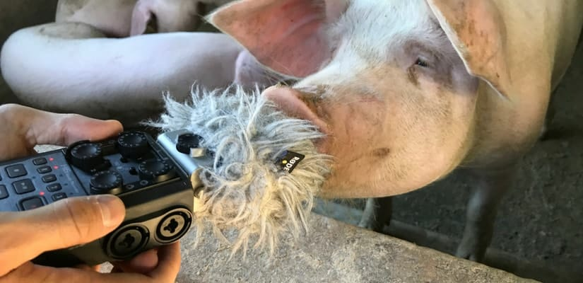 Pig Oink Sound Effects