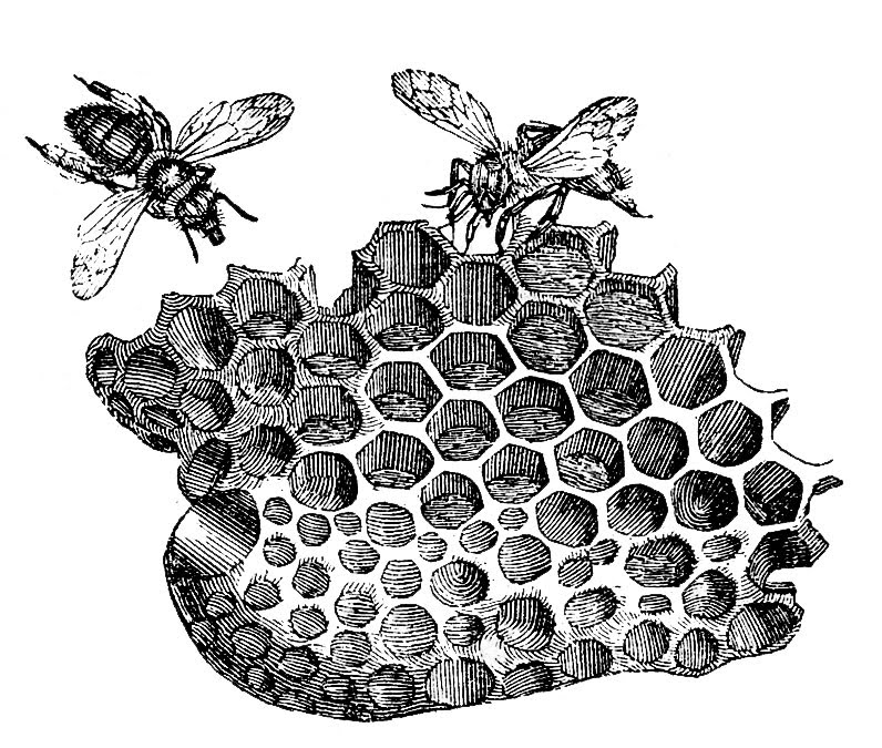 A vintage black and white illustration of bees and honeycomb