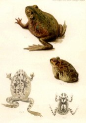 Vintage illustration of four frogs
