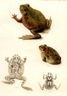 public domain frog illustration 20