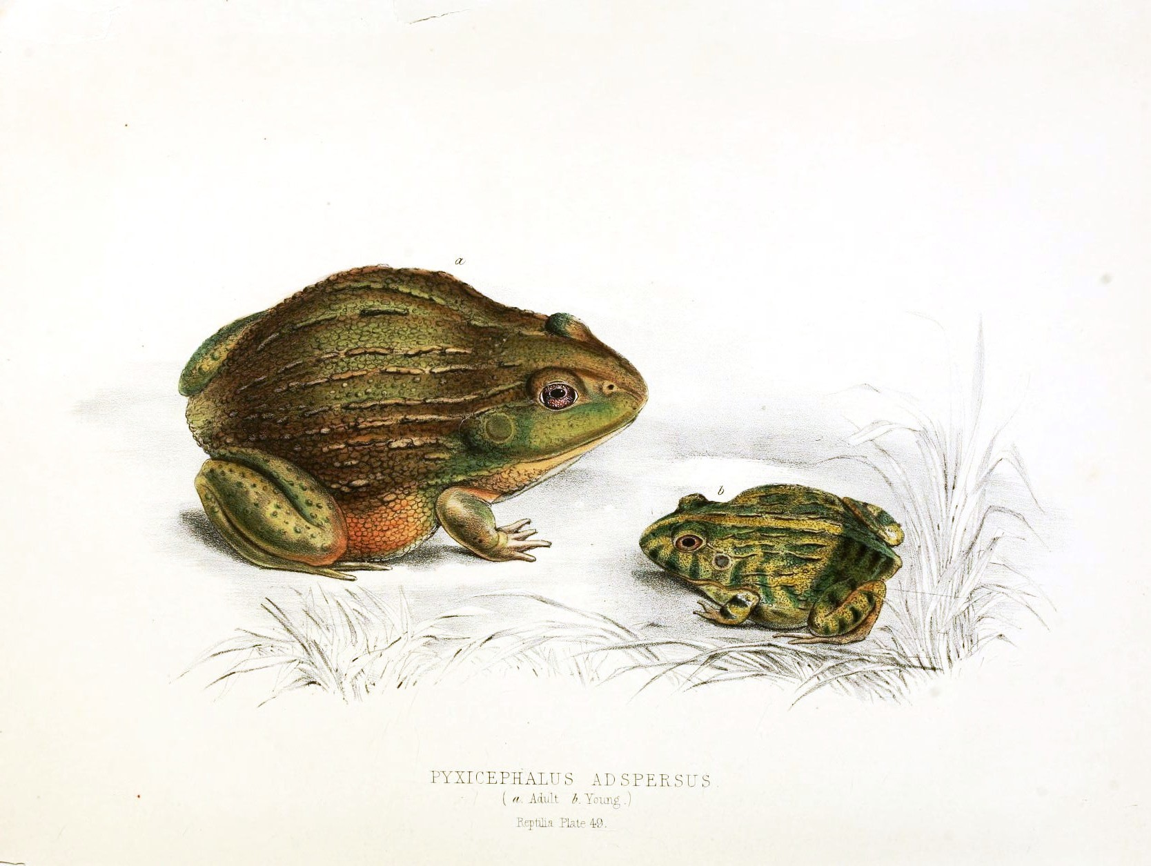 A classic vintage scientific illustration of two frogs.  A public domain image