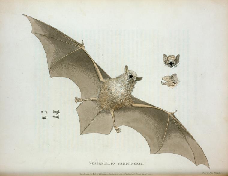 public domain vintage halloween print classic bat illustration pic 4