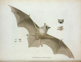 public domain vintage halloween print classic bat illustration pic 4