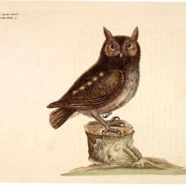 public domain vintage owl image 4