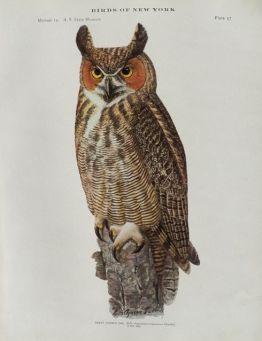 public domain vintage owl image 5