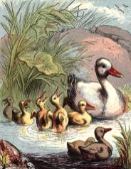 public domain vintage book illustration of duck and ducklings 3