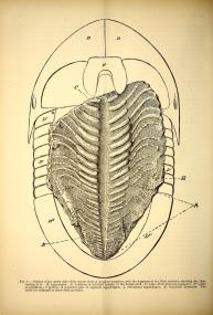 A vintage scientific illustration of a trilobite fossil