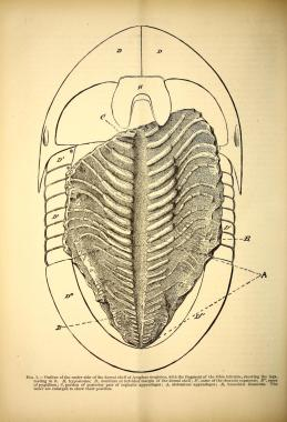 A vintage scientific illustration of a trilobite fossil