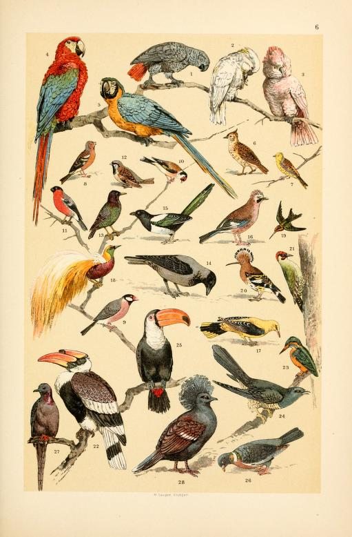 These are free vintage images of wild birds from an out of copyright science book for kids in 1895