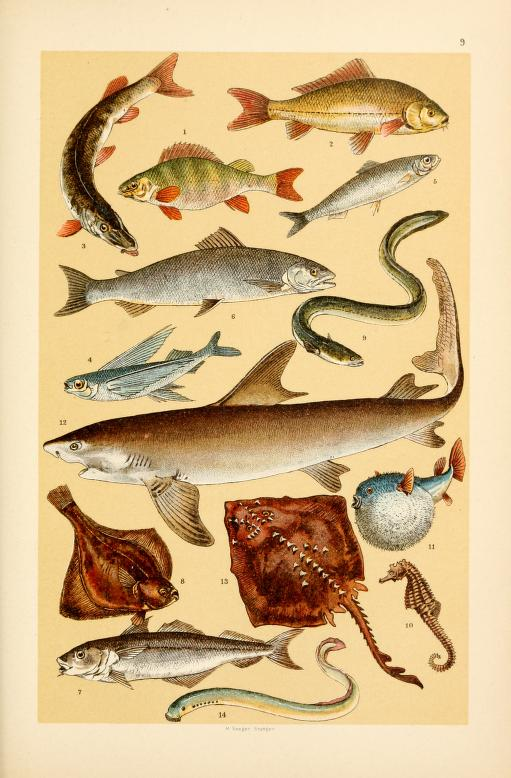 These free vintage illustrations of wild fish and marine life are from the antique out of copyright book, A Popular History of Animals for Young People, published in 1895.