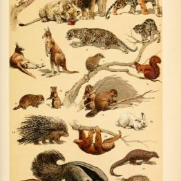 These are free vintage illustrations of wild animals and mammals from an out of copyright antique science book for children