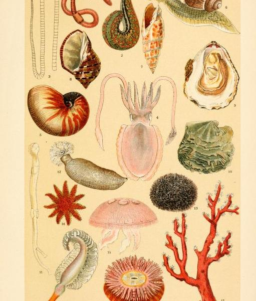 These are free vintage illustrations of snails, mussels, coral, sea stars, and more marine life from an 1895 out of copyright book A Popular History of Animals for Young People
