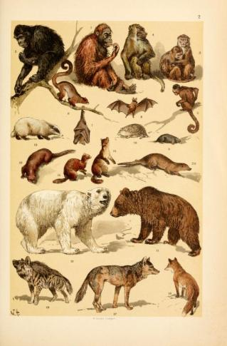 These are free vintage illustrations of wild animals and mammals from a public domain science book for children