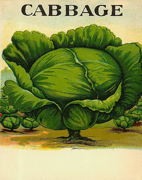 This is a free vintage color illustration of a head of cabbage from an antique farming catalog